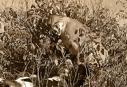image shrub lion Photos