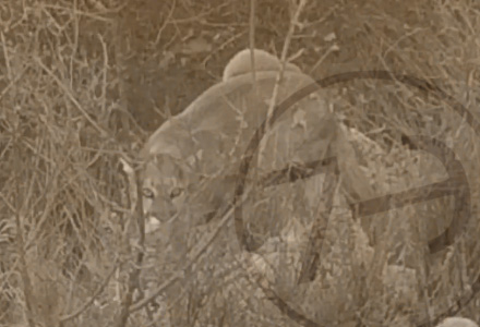 large adult az mountain lion Photos