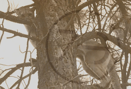 az mountain lion perched in tree Photos