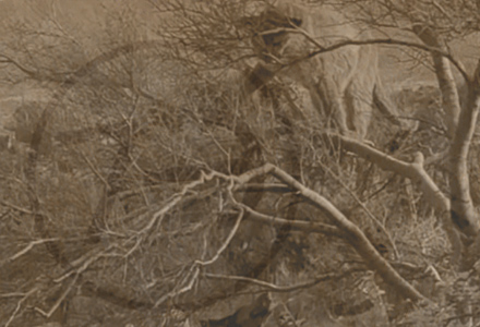 arizona lion hunting treed Photos